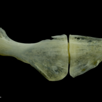 European seabass ceratohyal epihyal complex lateral view