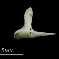 Three-spined stickleback premaxilla lateral view