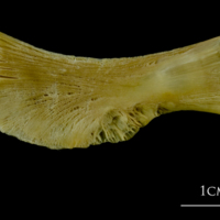 Atlantic cod ceratohyal medial view