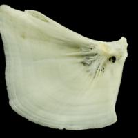 Common carp opercular medial view