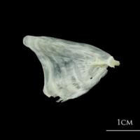 European plaice opercular medial view