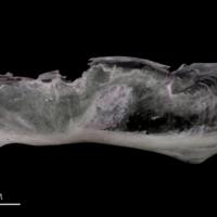 Parrot fish subopercular lateral view