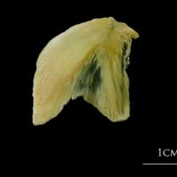 Atlantic cod opercular lateral view