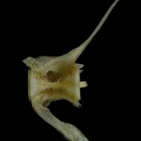 Red gurnard caudal vertebra lateral view