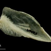 Haddock subopercular medial view