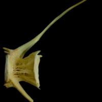 Saithe caudal vertebra lateral view