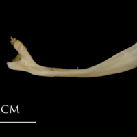 White grouper maxilla medial view
