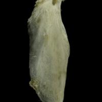 Common pandora supracleithrum medial view