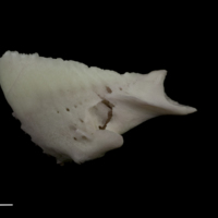 Parrot fish dentary lateral view