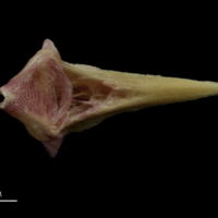 Meagre vomer ventral view