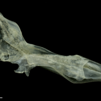 Red mullet cleithrum medial view