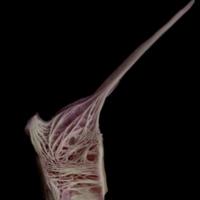 Meagre precaudal vertebra lateral view