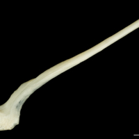 Haddock postcleithrum lateral view