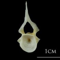 European plaice precaudal vertebra anterior view