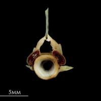 Garfish precaudal vertebra anterior view