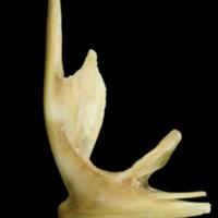 John dory premaxilla lateral view