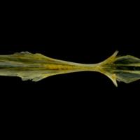 Grey gurnard parasphenoid dorsal view