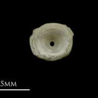 Grayling first vertebra anterior view