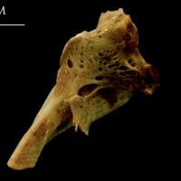 Thinlip grey mullet  hyomandibular medial view
