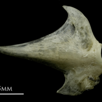 Common pandora articular lateral view