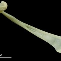 Bullrout maxilla medial view