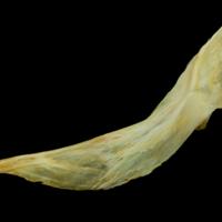 Saithe cleithrum lateral view