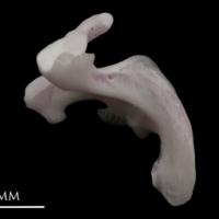 Parrot fish maxilla lateral view