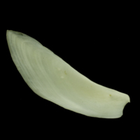 Common carp subopercular medial view