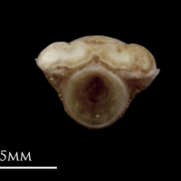 Red seabream first vertebra anterior view