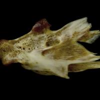European conger hyomandibular lateral view