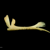 Greater forkbeard premaxilla lateral view