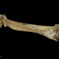 Greater amberjack maxilla lateral view