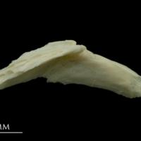Dragonet preopercular medial view