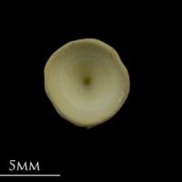 Thornback ray precaudal vertebra anterior view