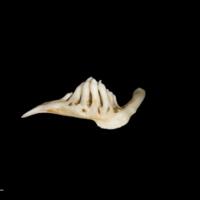 Barbel pharyngeal dorsal view