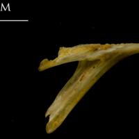 Thinlip grey mullet  dentary medial view