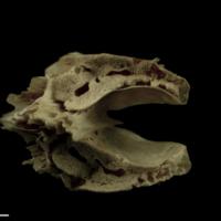 Atlantic salmon basioccipital anterior view