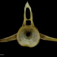 European conger precaudal vertebra anterior view