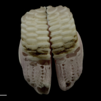 Parrot fish pharyngeal ventral view
