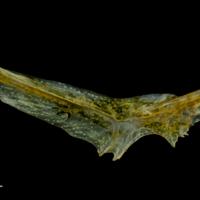 Grey gurnard preopercular medial view