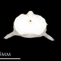 Atlantic herring precaudal vertebra anterior view