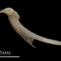 European eel ceratohyal lateral view
