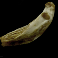 European conger epihyal lateral view