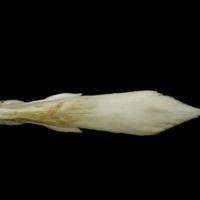 European conger vomer dorsal view