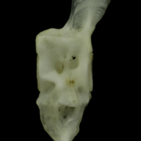 Mediterranean moray caudal vertebra lateral view