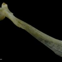 Red gurnard maxilla lateral view
