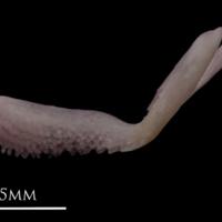 Common sole premaxilla medial view