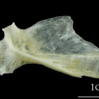 European plaice hyomandibular lateral view