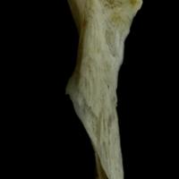 Red gurnard hyomandibular medial view