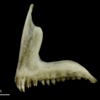 Common pandora premaxilla lateral view